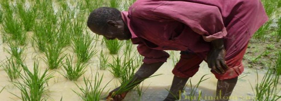 La riziculture s'est développé au Burkina faso autour des années 1960.